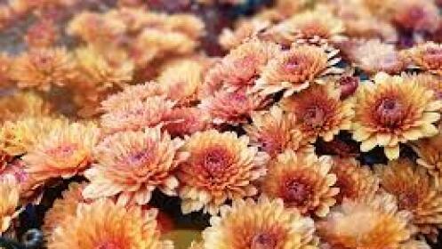 Precioso Crisantemo por 5,50€